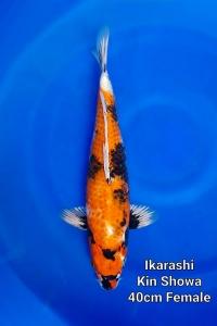 0204-Ikarashi-Kin-Showa-40cm-F