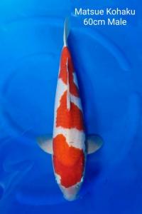 0048-Matsue-Kohaku-60cm-M