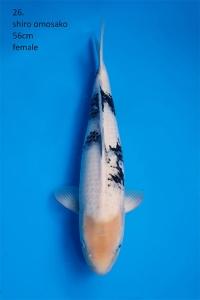 R-0167-26-shiro omosako 56cm-F
