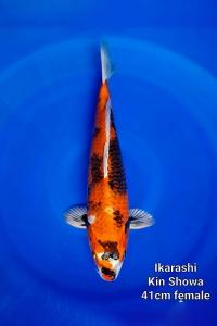 0205-Ikarashi-Kin-Showa-41cm-F